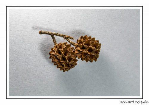 Filao ou casuarina esquisetifolia